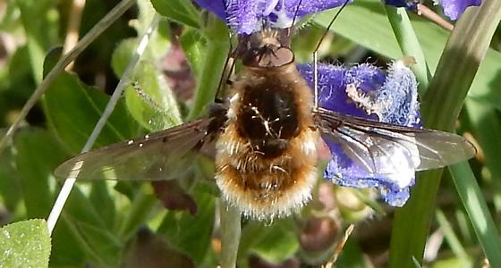 bee fly - Bombylius