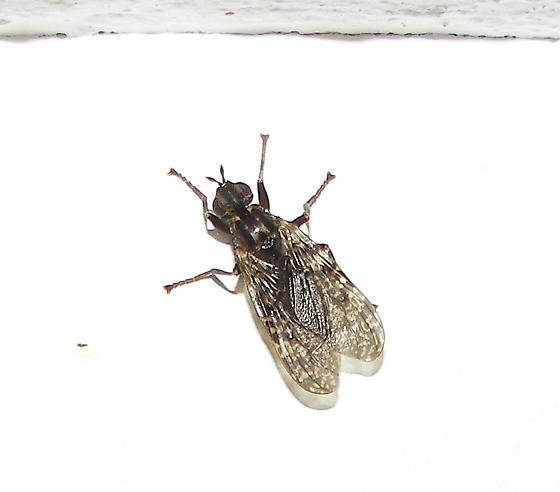 Pyrgota Fly - Sphecomyiella valida