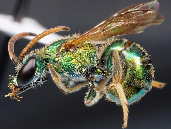 bee from Malaise trap - Augochlorella