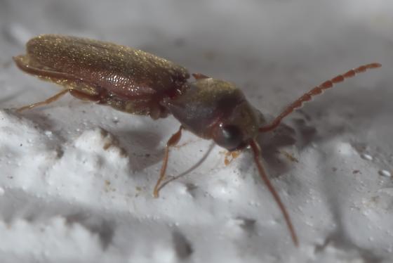 Brown false click beetle (2) - Dirrhagofarsus ernae