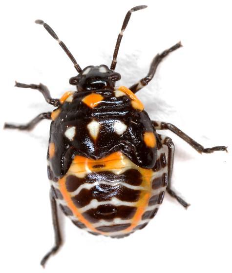 Harlequin Bug nymph? - Murgantia histrionica