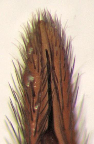 C. dorsata - palp tip - Castianeira dorsata - male