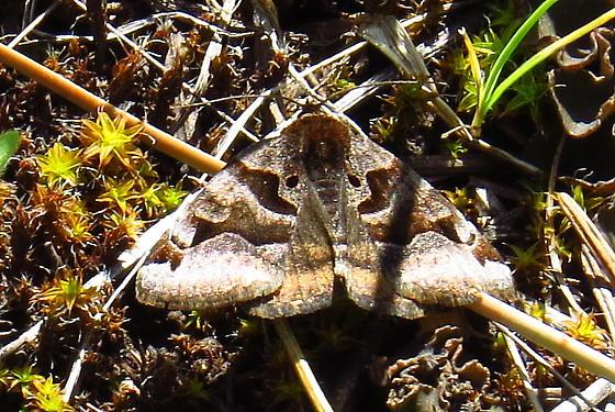 Small Butterfly - Euclidia ardita