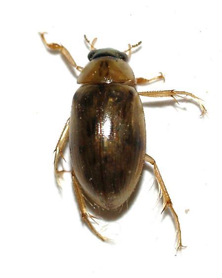 Hydrophilidae - Berosus - male