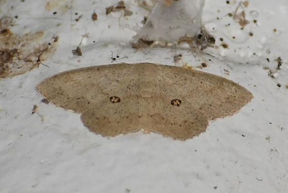 Semaeopus cantona