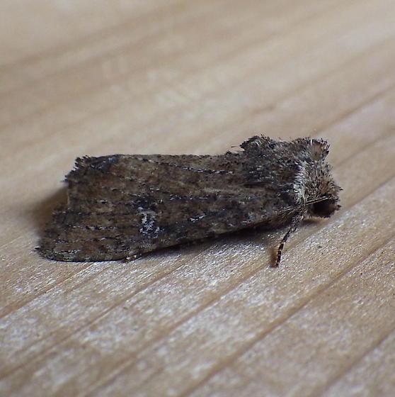 Noctuidae: Apamea scoparia? - Mesapamea fractilinea