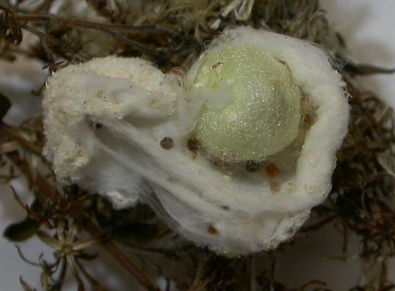 P. mira egg sac - Dicromantispa sayi