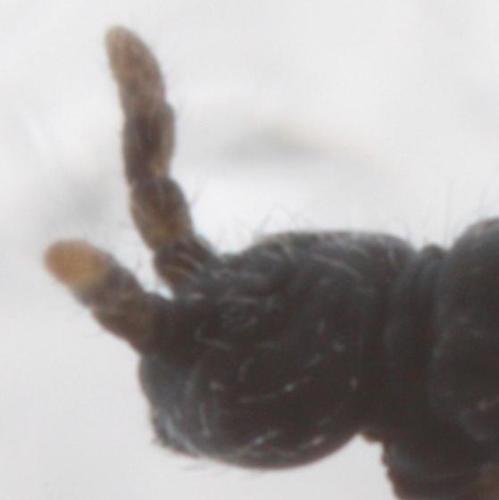 Hypogastrura - Hypogastrura nivicola