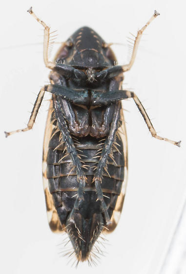 Leafhopper - Errastunus ocellaris - female