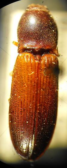Elathous nebulosus (Van Dyke) - Elathous nebulosus