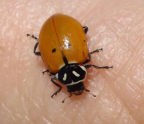Ladybug - Hippodamia