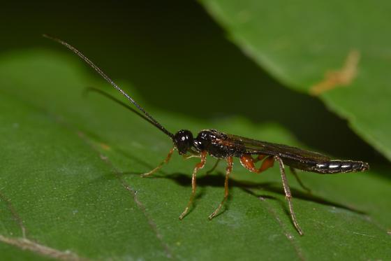 Hymenoptera - Odontocolon