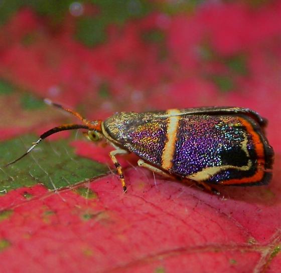 Hemerophila diva