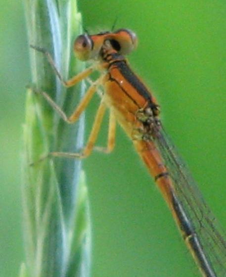 Orange (brown) Damsel - Ischnura verticalis