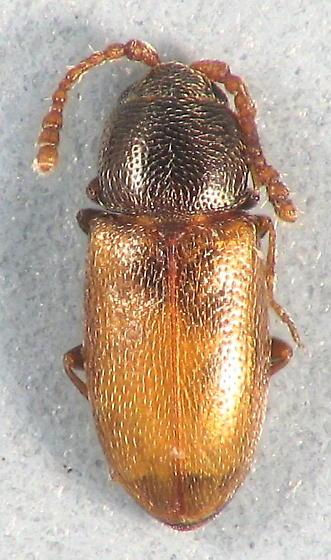 two-tone hairy beetle - Atomaria wollastoni