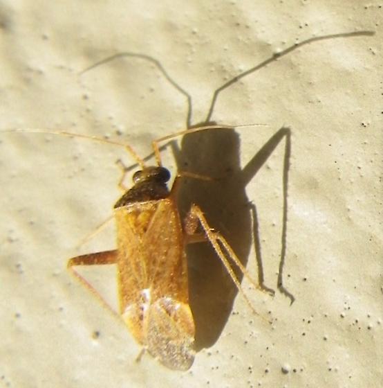 Hemipteran B 3.21.18 - Phytocoris