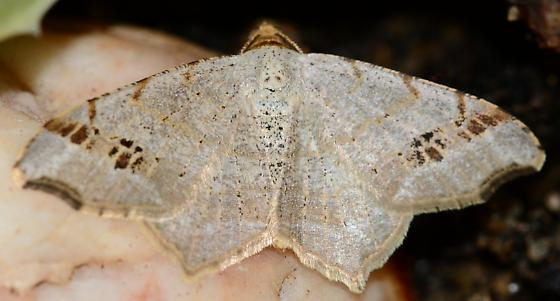 Tan Moth - Macaria aemulataria