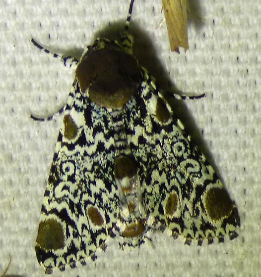 Harris's Threespot Moth Harrisimemnatrisignata - Harrisimemna trisignata