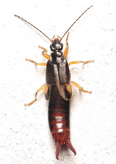 Earwig - Vostox - female