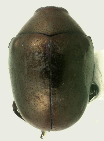 Oomorphus floridanus Horn - Oomorphus floridanus