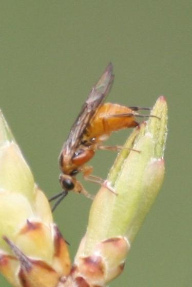 Azalea Sawfly? - Nematus lipovskyi - female