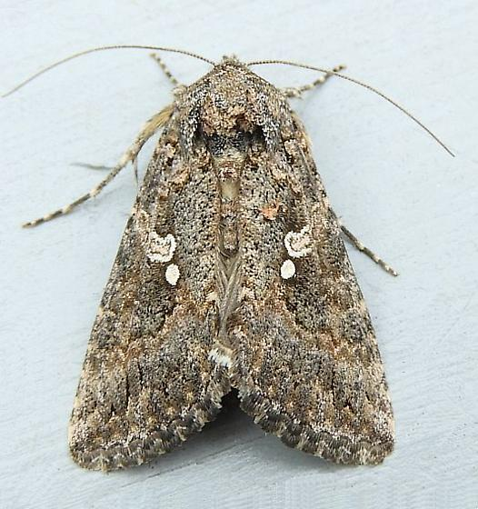 Pennsylvania Moth - Trichoplusia ni