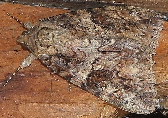 Underwing Moth - Catocala irene