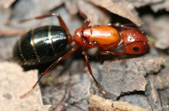 Camponotus? - Camponotus