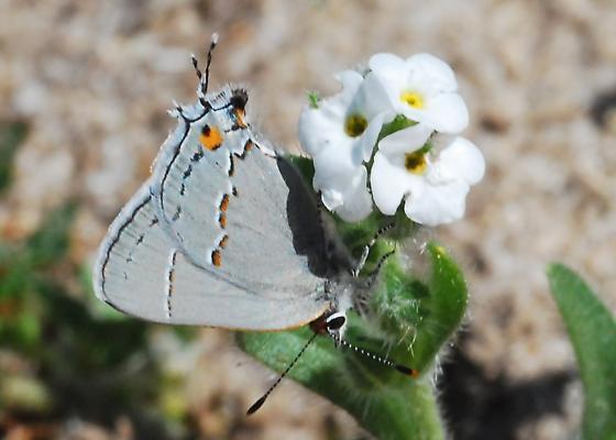Gray Hairstreak for California in March - Strymon melinus