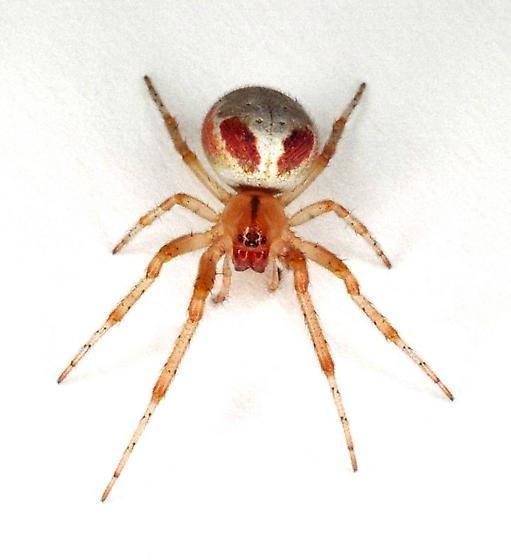 Orb Weaver - Zygiella atrica - Zygiella atrica - female