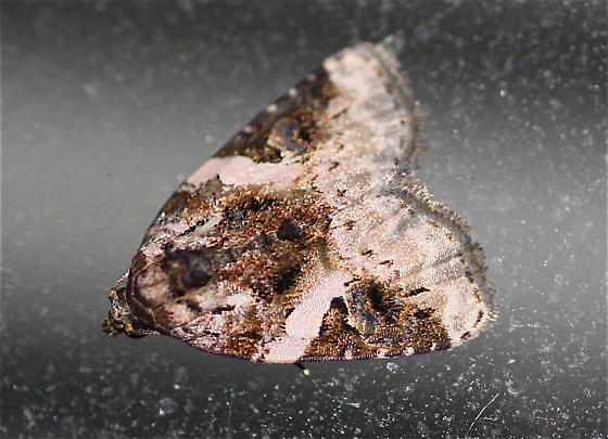 McFarland Moth - Pseudeustrotia carneola