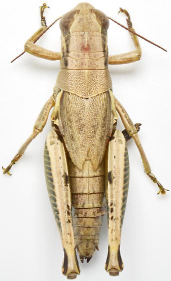 Melanoplus plebejus - female