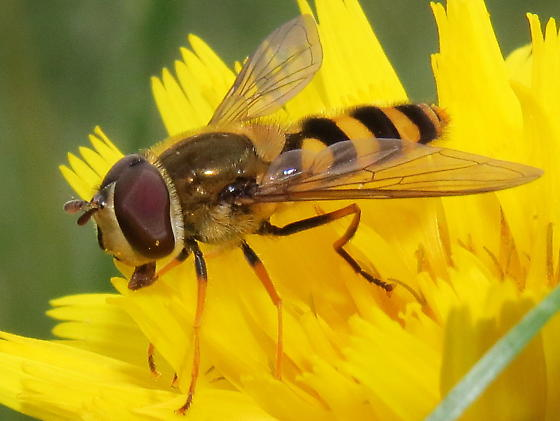 unknown Syrphini - Syrphus ribesii - male