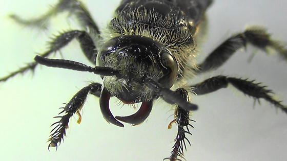Grub-lover (face) - Campsomeris tolteca - female