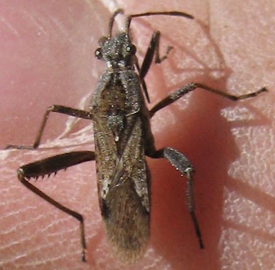 Hemiptera 9/22/09 01b - Tollius curtulus