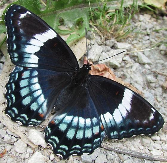 butterfly 2 - Limenitis arthemis