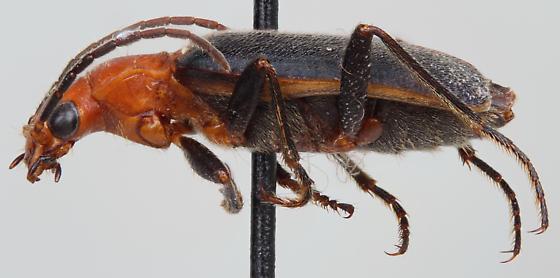Brachinus cibolensis