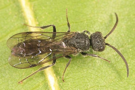 wasp - Myrmosa - male