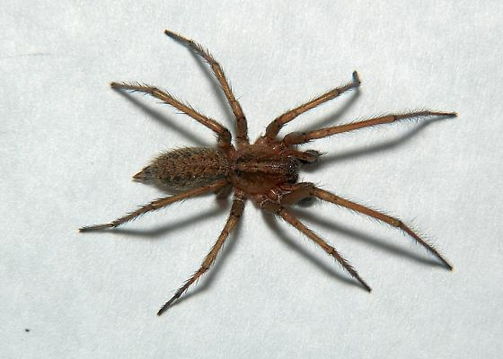 Hobo Spider? - Eratigena agrestis