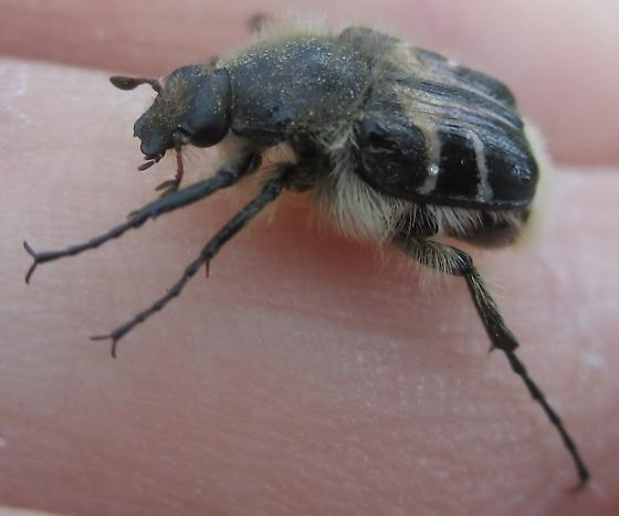 Bee Mimic Beetle - Trichiotinus assimilis