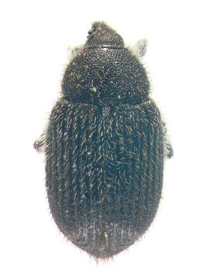Curculionidae, dorsal - Rhinusa antirrhini