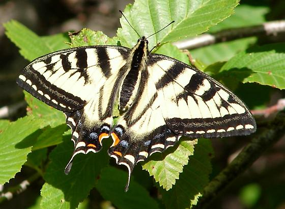 Tiger Swallowtail - Papilio rutulus - female