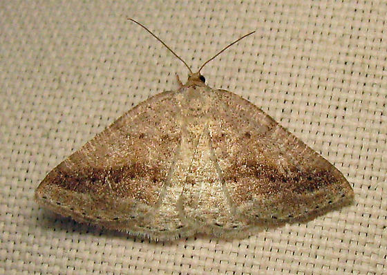 6807 Pale Alder - Tacparia detersata