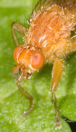 Orange Creekside Fly - Scathophaga nigrolimbata