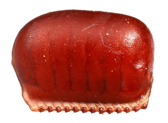 American Cockroach? - Periplaneta americana