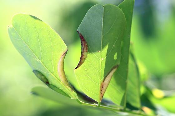 Black Locust Gall Midge - Obolodiplosis robiniae