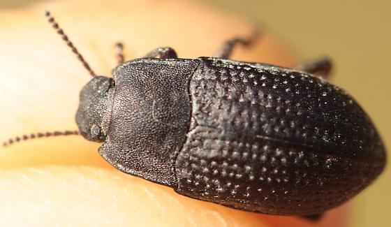 Beetle from under rock in shalely opening - Alaetrinus minimus