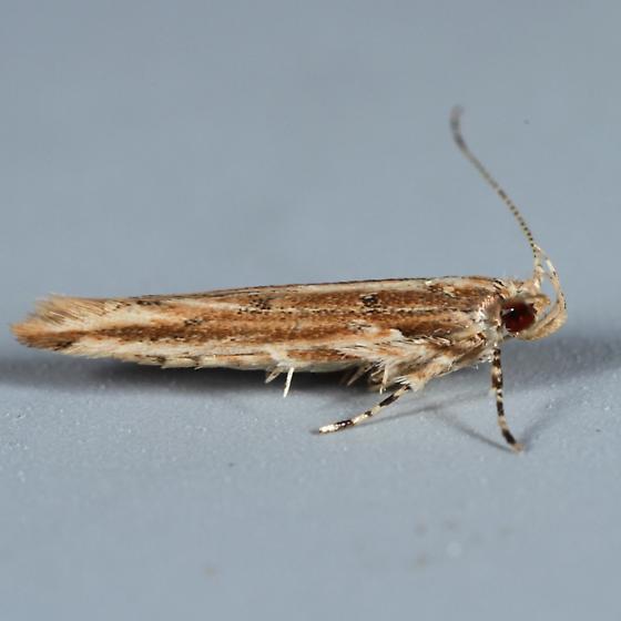 Moth - Pyroderces