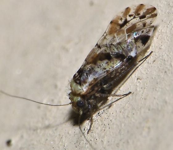 Trichadenotecnum alexanderae (?) - Trichadenotecnum