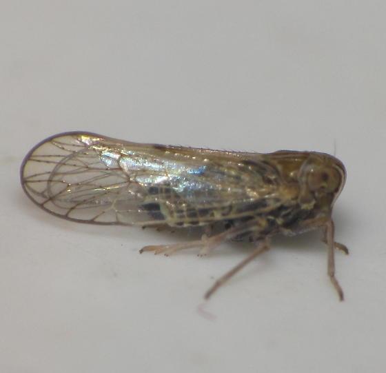 Brown delphacid planthopper w/ rings on antennae - Metadelphax wetmorei